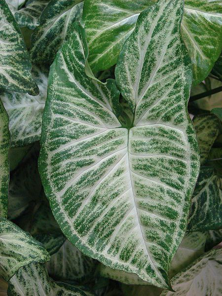 Caladium are a family of tender tropical perennial plants grown from underground corms for their dramatically veined and colorful foliage. Hardy in USDA zones 9a through 11, caladium requires a warm c...