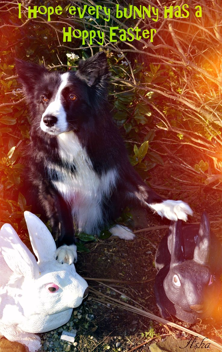 HOPPY EASTER FROM ASHA AND HARE BUNNIES...