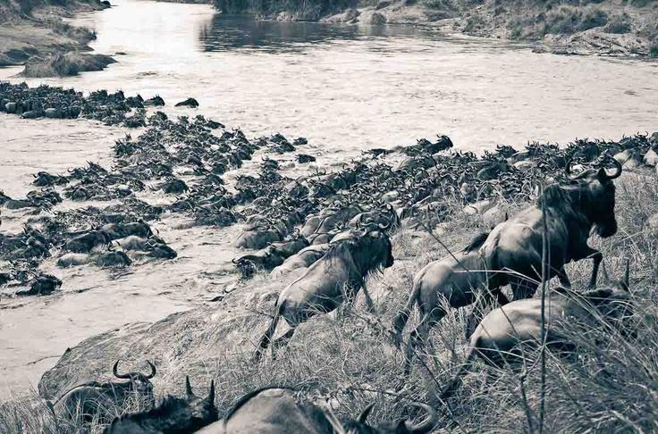 Beautiful dangerous wild animals pets of Africa: Dangerous Wildebeest animal Migration of Africa