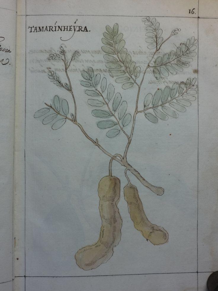 """DSC01307 - Manuel Godinho de Herédia (1563-1623)- """"Summa de arvores e plantas da India intra Gangez"""". 1612. Manuscrito, original autógrafo. Arquivos da Abadia de Tongerlo - Cota: AAT-V 133"""