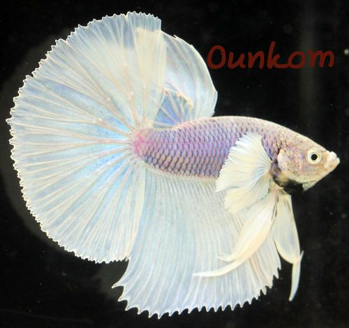 Big ears dumbo white halfmoon male live betta fish for Big betta fish