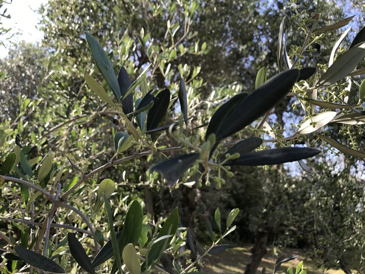 New olives on the way - May in Tuscany