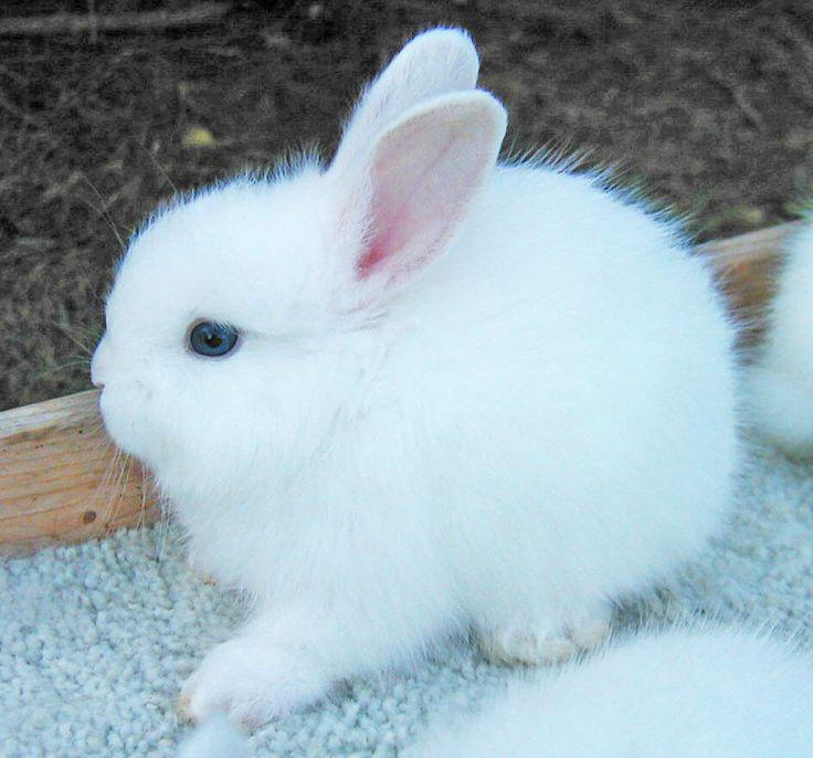 85 best images about Angora Rabbits on Pinterest | English ...