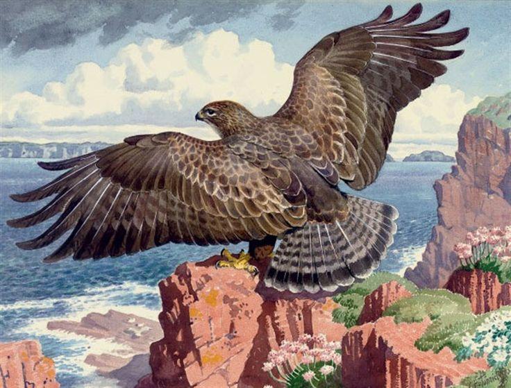 C F Tunnicliffe: Buzzard hear a rocky shore
