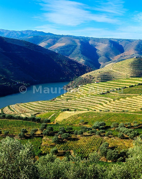 Vineyards and olive trees in the Douro valley, near Chanceleiros. A UNESCO World Heritage Site, Portugal