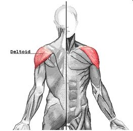 New ShapeTrainer Blog: Muscles of the Body Series: Vol3 Deltoids:   Click here to read about the form & function of the deltoids, and how to train it: