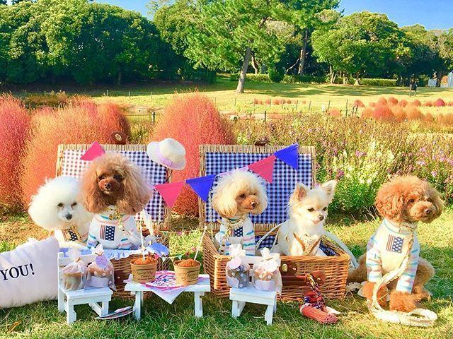 はい最後です😂ピクニックpic🌷 * * やく1名ずっと放浪していて… * * ようやく全員集合😂 * * * みんな浮かない表情…🌚 * * 台風の影響でお花はあまり見れなかったけど、楽しいピクニックでした♡ * * * 今日から11月❤︎ * * 紅葉見に行きたーい♪ * #todayswanko #pets#dog#poodlelove#poodle#picnic #toypoodle #toypoodlelover #7pet_1day #wanko #トイプードル#プードル#愛犬#海の中道海浜公園