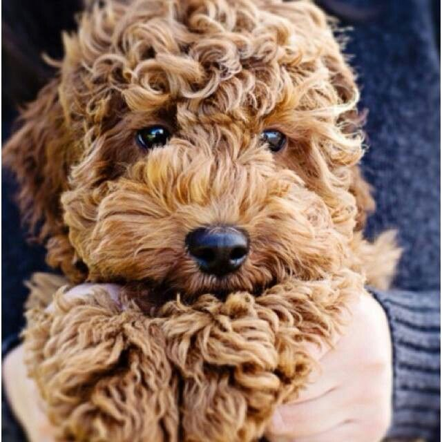 I have decided that when i get a dog, i am getting a goldendoodle!! they are sweet smart dogs:)