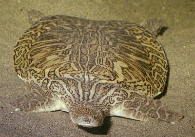 Indian narrow-headed softshell turtle, Chitra indica