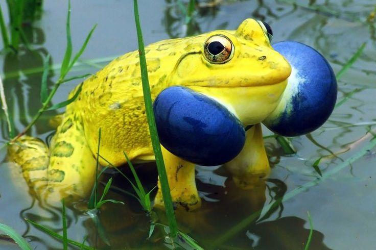 El croar azul de la amarilla rana toro india  En esta imagen podemos ver el poderoso contraste entre el color amarillo de este ejemplar de macho de  rana toro india (Hoplobatrachus tigerinus) y el azul de su garganta al croar.