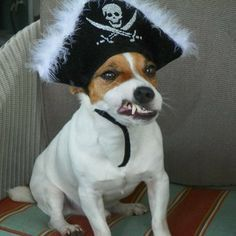 Jack Russell funny - Pirate. More at. https://uk.pinterest.com/garylaundy/jack-russell-terriers/
