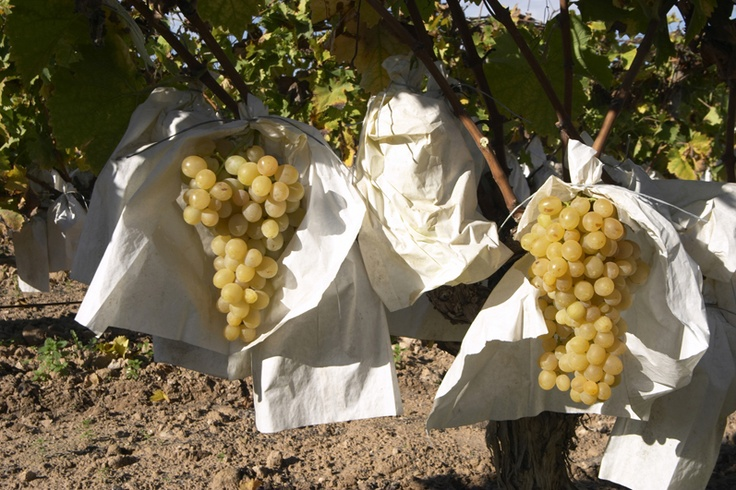 Raisin de table. C'est aux mois de juin et juillet les meilleures grappes de raisin sont sélectionnées et qu'elles sont recouvertes d'un sachet en papier de cellulose, qui est ensuite fermé par le pendule, et qui reste ouvert sur sa partie inférieure.