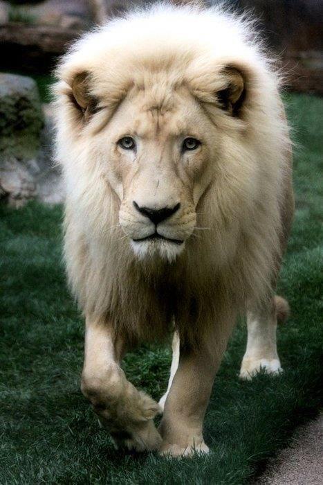 O raro leão branco não é uma espécie diferente, mas sim um leão comum com uma mutação genética chamada de leucismo (não deve ser confundido com albinismo). O oposto do leucismo é o melanismo, que torna os animais escuros – como a tão bem conhecida pantera negra, de que vamos falar mais à frente neste artigo.