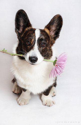 Anvi: Welsh Corgi (Cardigan) by Larusmarinus.com, via Flickr  #corgi