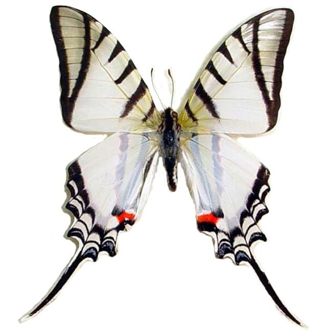 Eurytides Protesilaus | Real Butterfly Gifts Framed Butterflies ...
