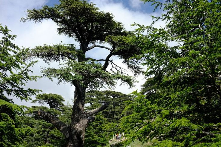 The Lebanon Cedar or cedrus libani is one of the most majestic trees of the world.