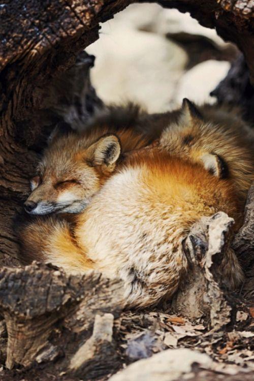 earth-earthlings:    Fox Village by Lauren Elizabeth Pirie...