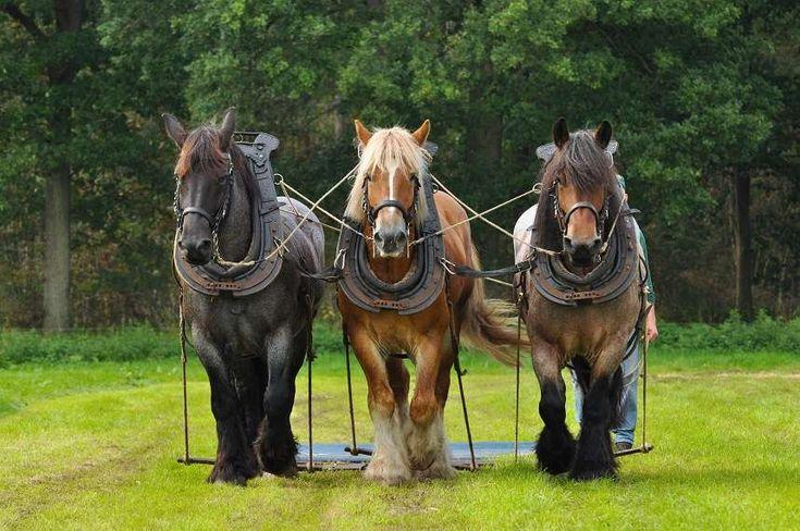 draft horses | Belgian-draft-horses.jpg