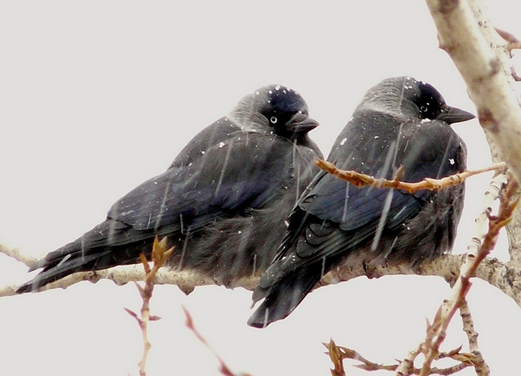 jackdaws: Snow Birds, Birds Jackdaw, Birdi Birdi, Features Feathers, Birds Kuslar, Birds Watches, Jackdaw Snow, Beautiful Birds, Feathers Friends