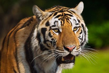 """LSU Tigers current tiger mascot Mike VI, """"Roscoe"""", was born July 23, 2005, and came to LSU at he was two years old. He was donated to LSU by Great Cats of Indiana, a nonprofit sanctuary for big cats located in Idaville, IN. He was moved into his home, north of Tiger Stadium on Aug. 25, 2007. He was officially declared Mike VI at a ceremony held on Sept. 14, 2007 and debuted in Tiger Stadium on the evening of the Florida vs. LSU game on Saturday, Oct. 6, 2007. He has served from 2007-present."""