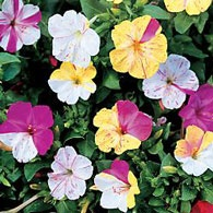 Top 10 Scented Annuals | Birds & Blooms: Flowers Gardens, Colors Four O' Clocks, Four O' Clocks Flowers, Four O' Clocks Broken, Broken Colors, Little Flowers, Gardens Growing, Flowers Seeds, Flowers Photo