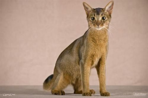 80 Enciting Cornish Rex Kitten Pics And Cat Images Characteristics Information - Cat And Kitten Images