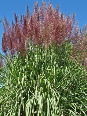 17 best images about grasses on pinterest names for Ornamental grass with purple plumes