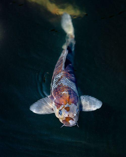 Koi fish poissons pinterest bassin poissons et for Carpe koi b