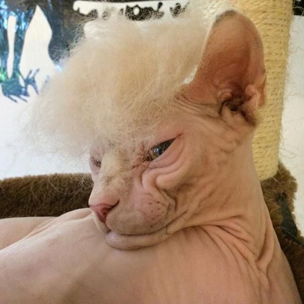 #Trumpyourcat Meme Pisses Off Pets By Giving Them Horrible Donald Trump Comb-Overs