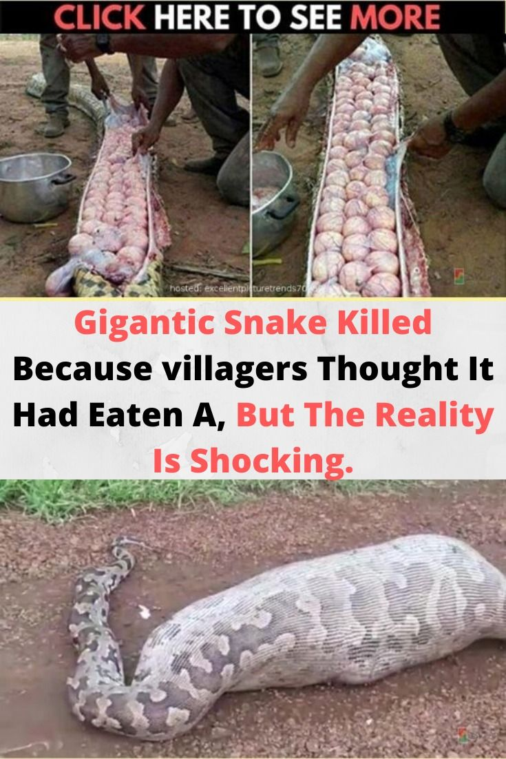 Gigantic Snake Killed Because Villagers Thought It Had Eaten A