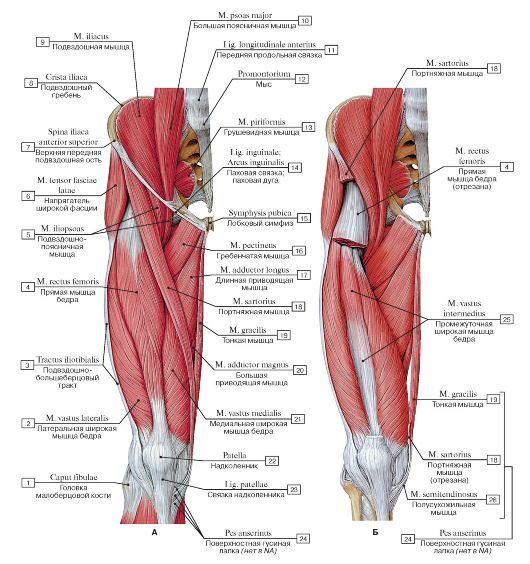 1Head of fibula; 2Vastus lateralis; 3Iliotibial tract; 4Rectus femoris; 5Iliopsoas; 6Tensor fasciae latae; Tensor of fascia lata; 7Anterior superior iliac spine; 8Iliac crest; 9Iliacus; 10Psoas major; 11Anterior longitudinal ligament; 12Promontory; 13Piriformis; 14Inguinal ligament; 15Pubic symphysis; 16Pectineus; 17Adductor longus; 18Sartorius; 19Gracilis; 20Adductor magnus; 21Vastus medialis; 22Patella; 23Patellar ligament; 24=18+19+26Pes anserinus; 25Vastus intermedius; 26Semitendinosus