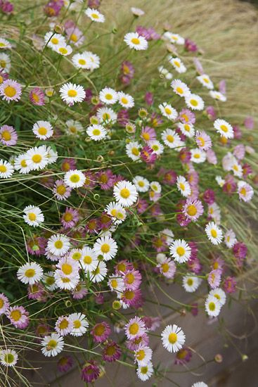 I am hoping that this lovely Erigeron karvinskianus seeds all over the sunny sites. The flowers magically change colour and become more pink with age.