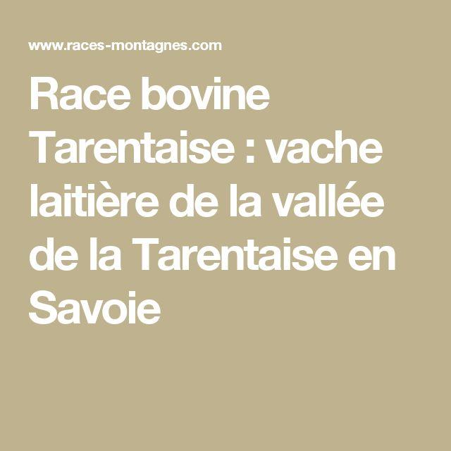 Race bovine Tarentaise : vache laitière de la vallée de la Tarentaise en Savoie