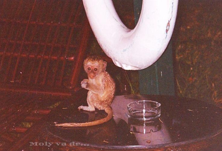Esos pequeños simios amantes del protector labial!  #Molyvade...#viaje #África #Kenia #Amboseli molyvade.blogspot.com