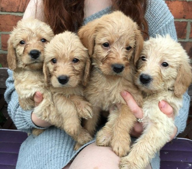 Beautiful F1 Labradoodle Puppies Labradoodle F1 Labradoodle
