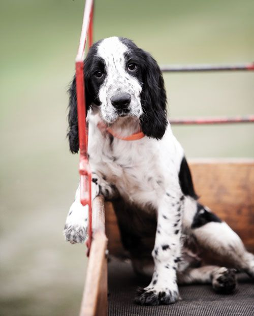 : Magazine, Puppies Faces, Old Dogs, Southern Charms, English Springer Spaniels, English Cocker, Cocker Spaniels, Gardens And Guns, English Setters