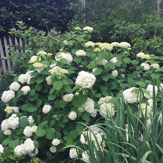 Incrediball hydrangea from @provenwinners is showing out at the #cottagegarden Wowza ....what a #joy ##naturally #naturalbeauty #livingabetterlife #liveabetterlifenaturally #organic #organicisbest #growwithusnaturally