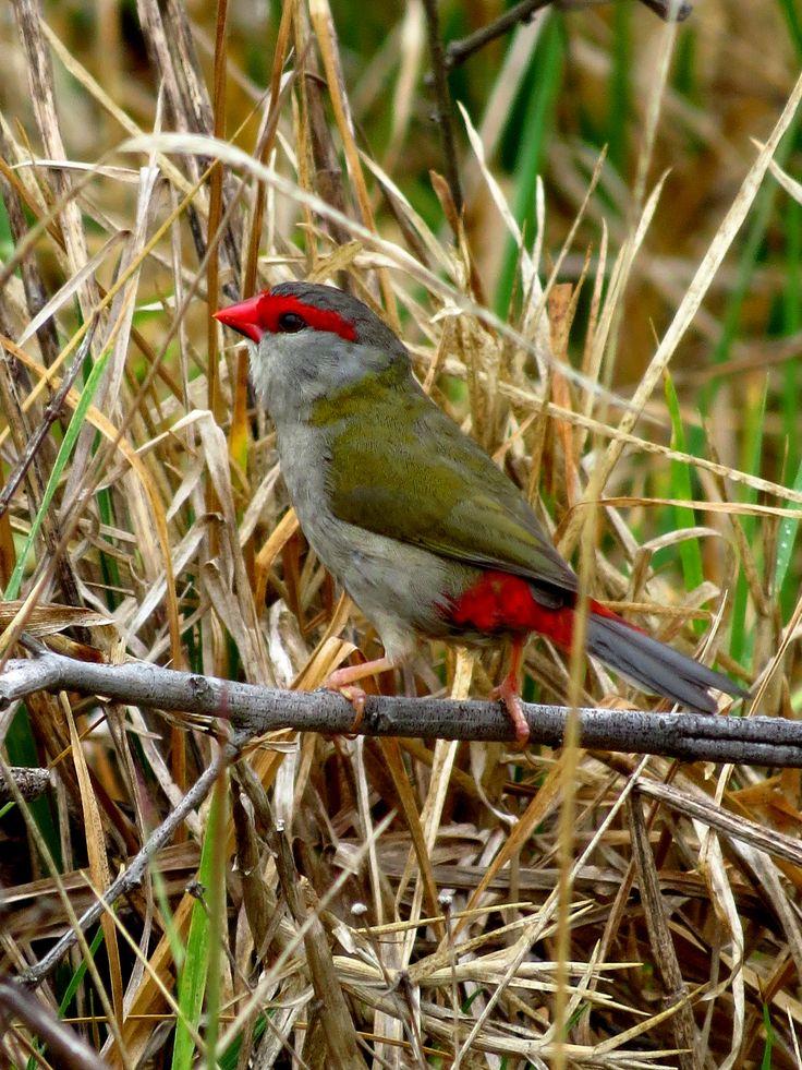 Firetail Finch