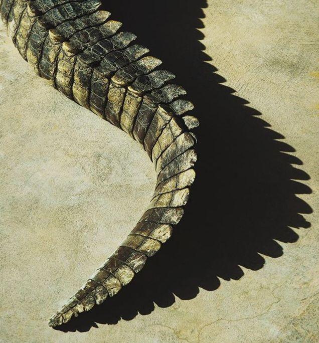 how to cook crocodile tail