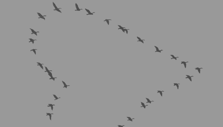 sparows in a heart picture | QUESTION: Why do Pelicans fly in formation?