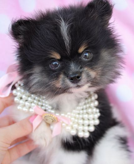 Gorgeous Pomeranian Puppy by TeaCups, Puppies & Boutique