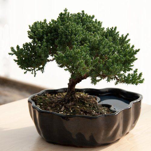 Zen Reflections Juniper Bonsai $25.19Bonsai Trees, Ideas, Reflections Juniper, Zen Reflections, Gardens, Juniper Bonsai, Christmas Gift, Clay Pots,  Flowerpot