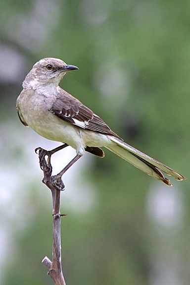 The northern mockingbird (Mimus polyglottos) is the only mockingbird commonly found in North America. The northern mockingbird is renowned for its mimicking ability, as reflected by the meaning of its scientific name, 'many-tongued mimic.' It has gray to brown upper feathers & a paler belly. Its wings have white patches which are visible in flight.