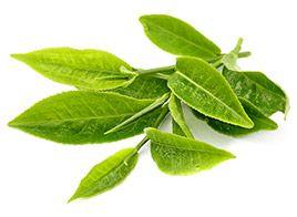 Grüntee-Extrakt fördert die Fettverbrennung und reduziert die Fettaufnahme aus der Nahrung. Grüner Tee enthält beträchtliche Mengen an Koffein und Polyphenol-Catechinen (hoher Gehalt an Antioxidantien), die den Energieverbrauch pro Tag (Kalorienbedarf) steigern und den Fettstoffwechsel ankurbeln.
