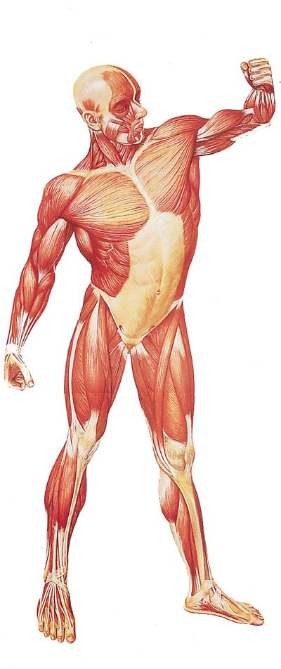 17 Best Images About Muscular System  Muscles  On