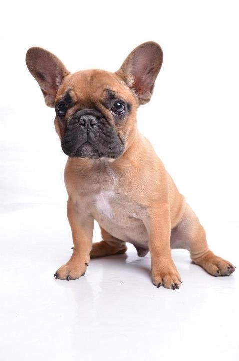 Houston the french bulldog.