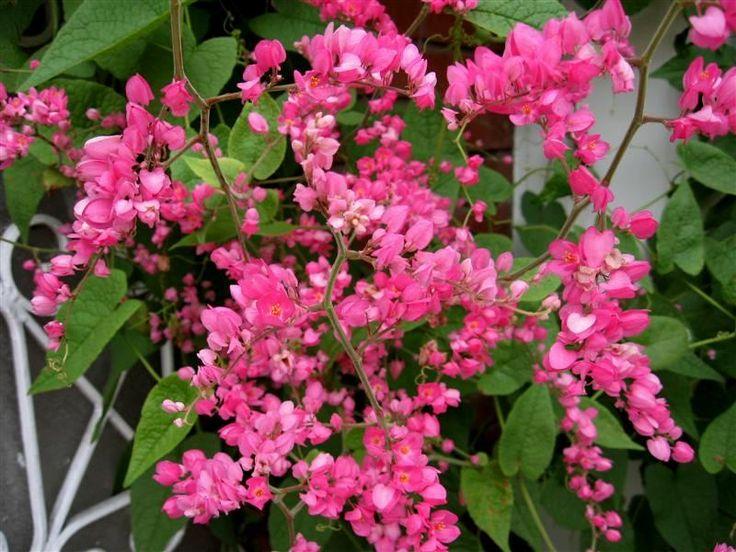 Image result for BELLISSIMA plantas FLORES (Antigonon leptopus). OLBAURAE.