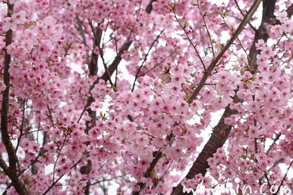 ★ 日本の春 桜 陽光桜(ヨウコウ)満開になると壮大です!! 1年生苗木 ★_画像3