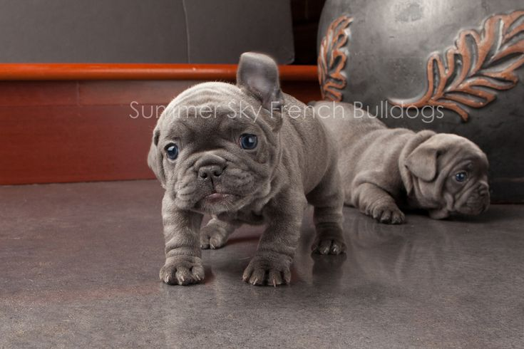 Pheobe is shaking her head. Blue French Bulldog Puppies.