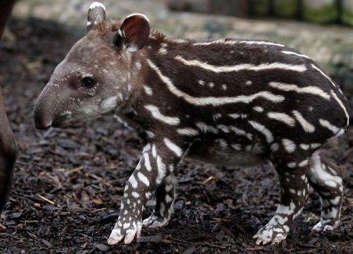 Un tapir bebé. Parece una sandía! hermoso! El preferido de mi hermana Gabeta!
